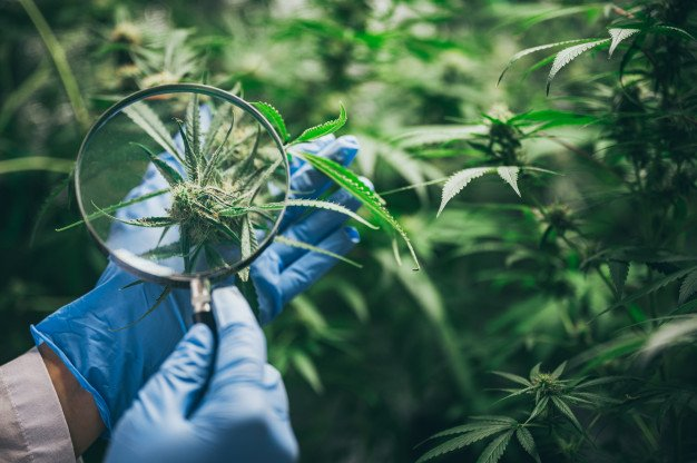 The Best Cannabis Strains For Cancer Relief